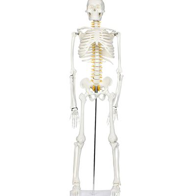 "NEW Walter Products B10205 Human Skeleton Model with Nerves Labeled, Half Size 33"" (84 cm)"